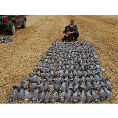 chasse pigeon angleterre
